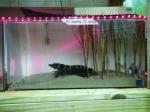 shrimp-in-tank-2